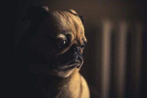 dog cry