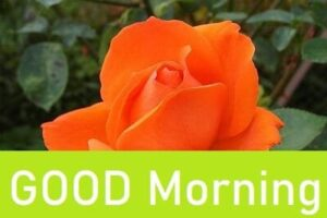 good morning rose