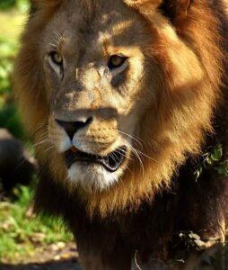 lion profile picture