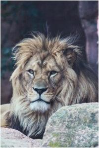 lion wallpaper for mobile