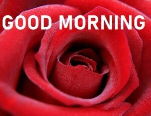 red rose good morning