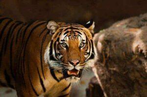 tiger whatsapp status