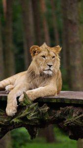 whatsapp dp lion photo